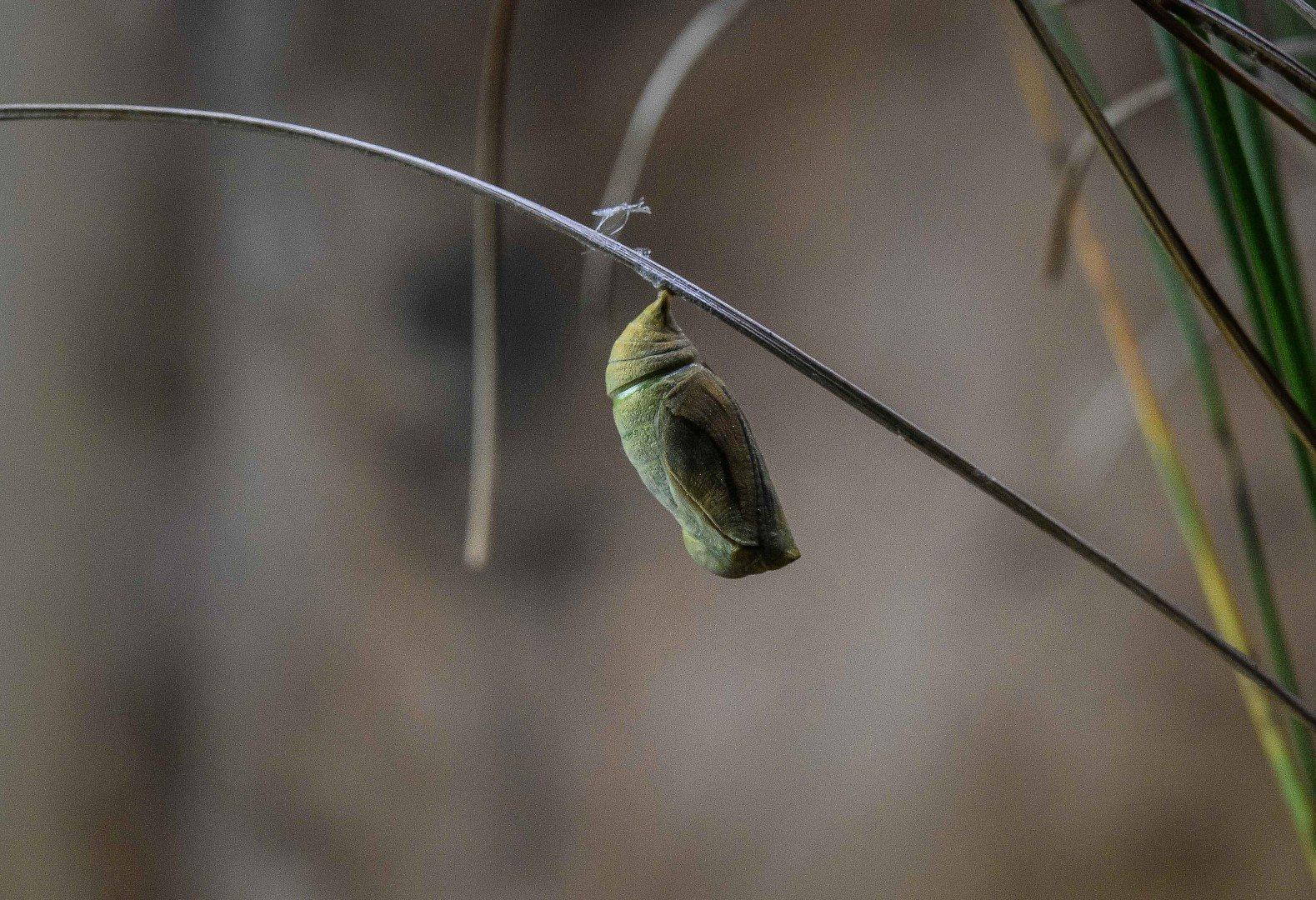 Large heath butterfly in pupa