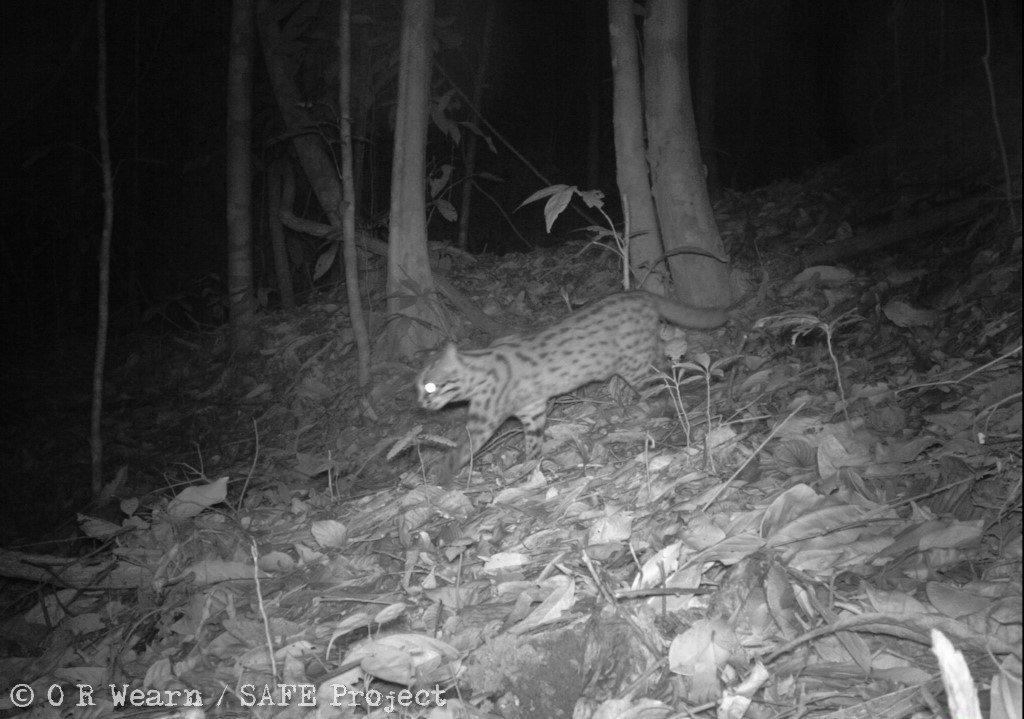 Leopard cat Borneo_SAFE Project