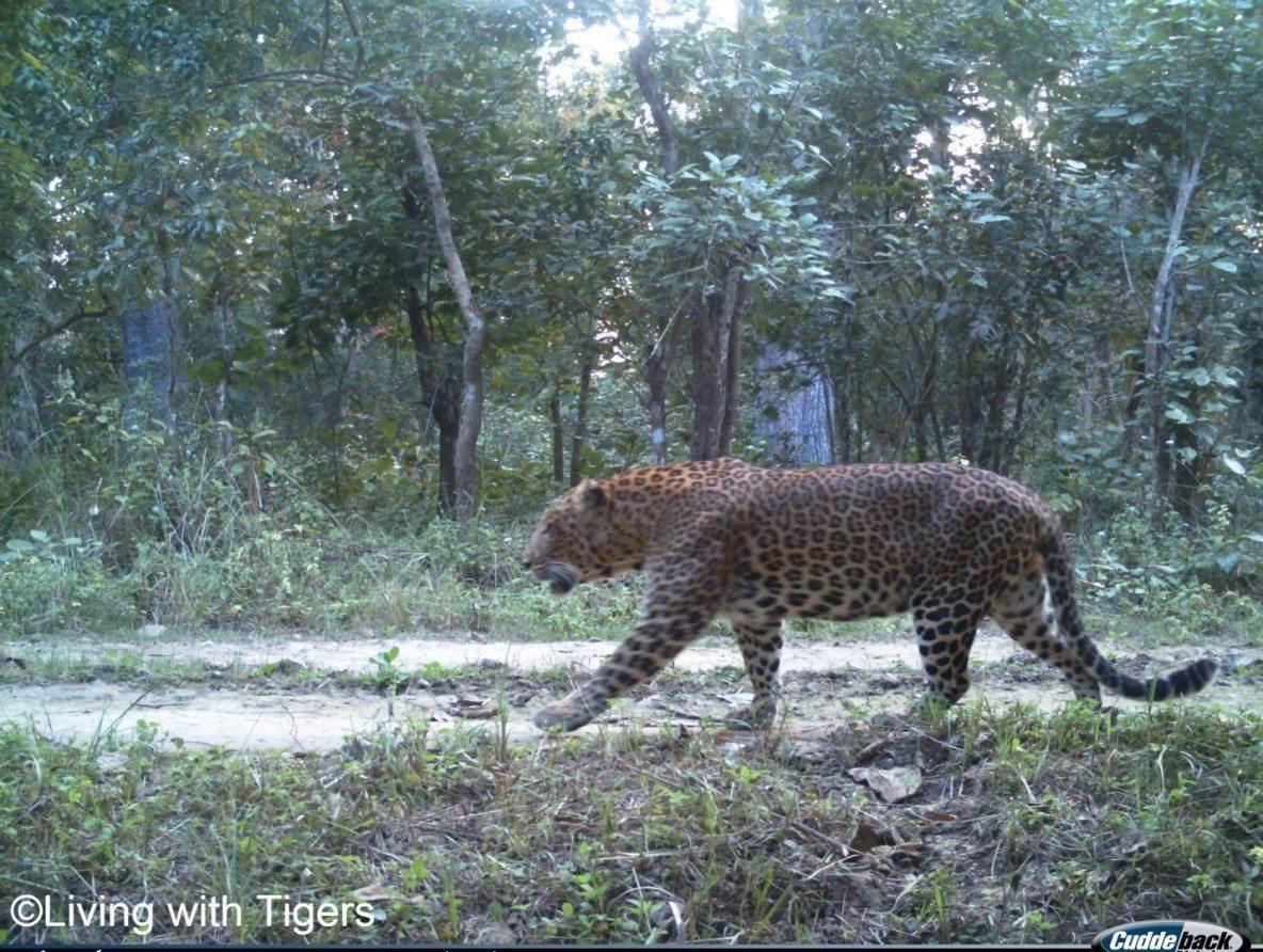 Male common leopard LwT