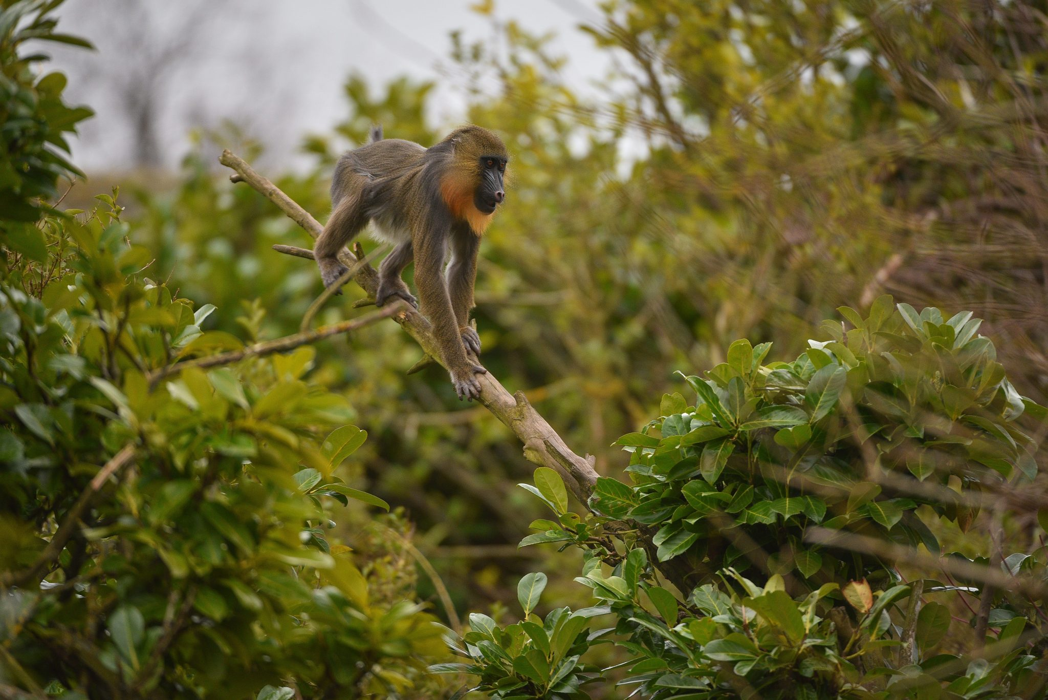 Mandrill in a tree at Chester Zoo