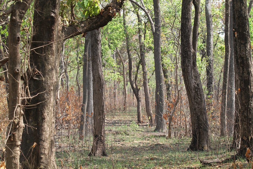 Trees close together in a forest, perfect tiger territory