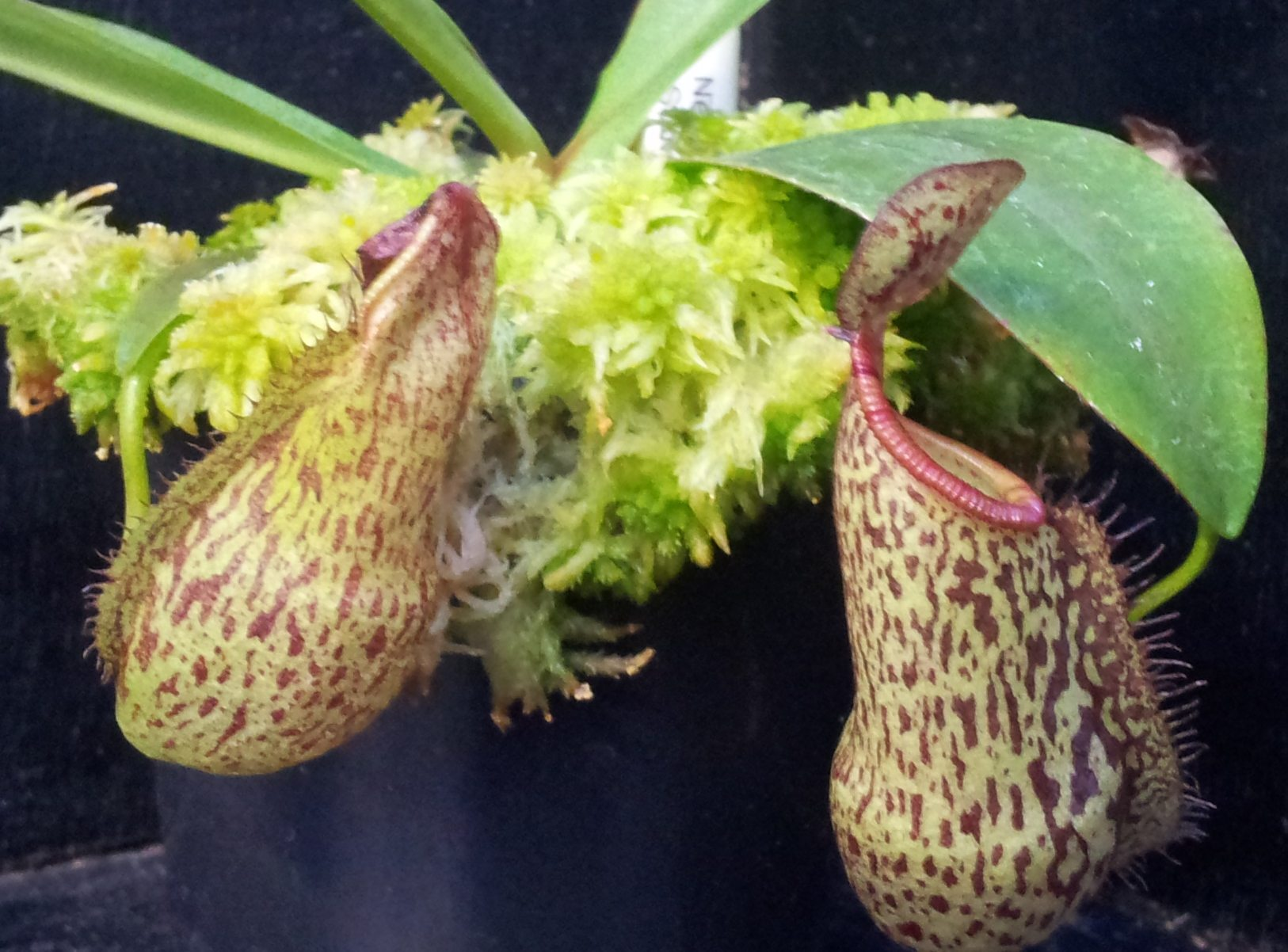 nepenthes-rigidifolia