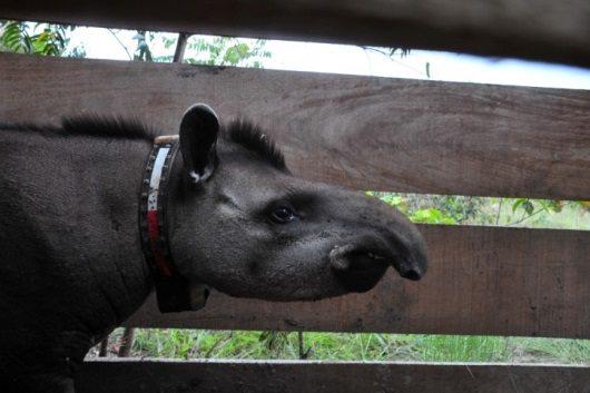 Tapir with GPS collar on