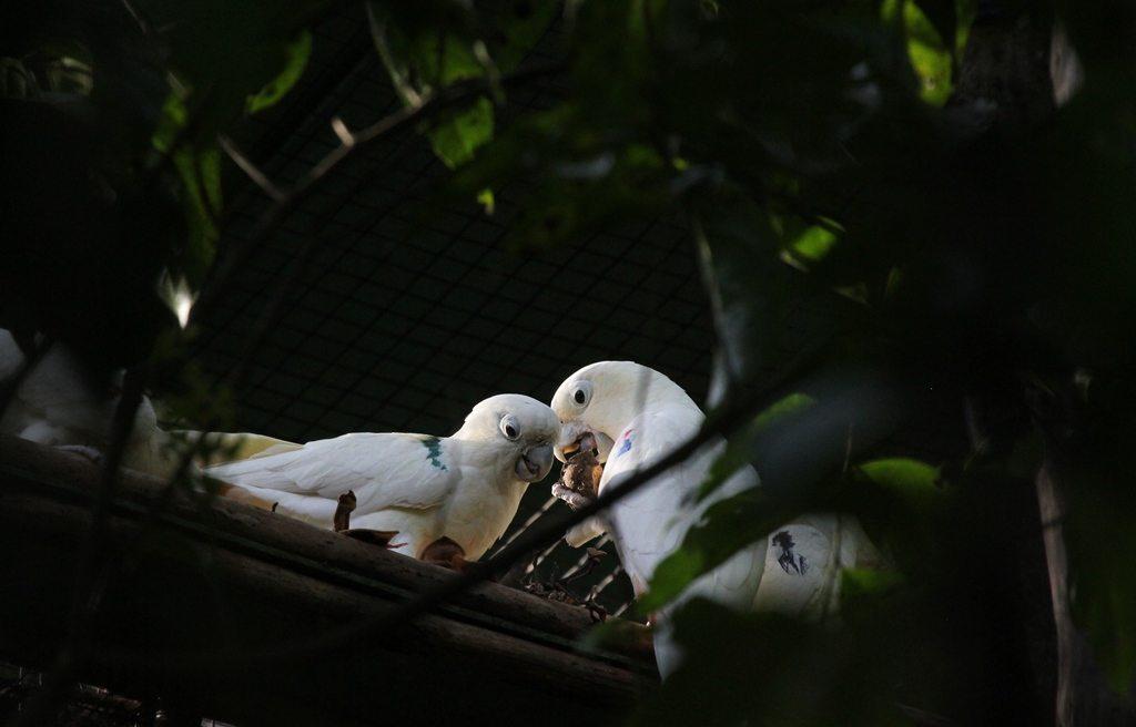 Pair of Philippine cockatoos