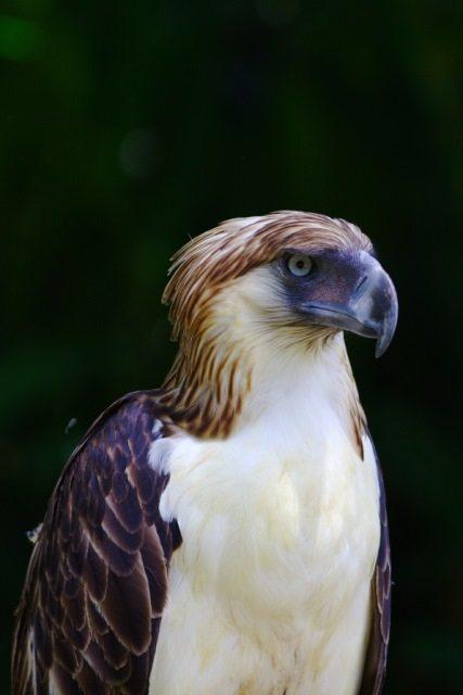 Philippine eagle.