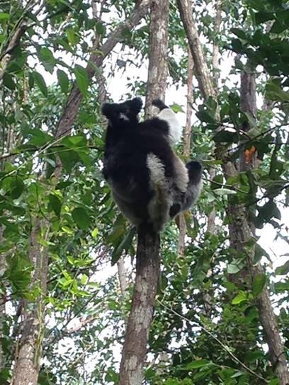Indri lemur in a tree