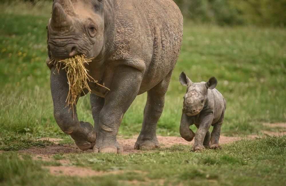 New black rhino calf born at Chester Zoo