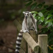 Ring Tailed Lemur | Chester Zoo