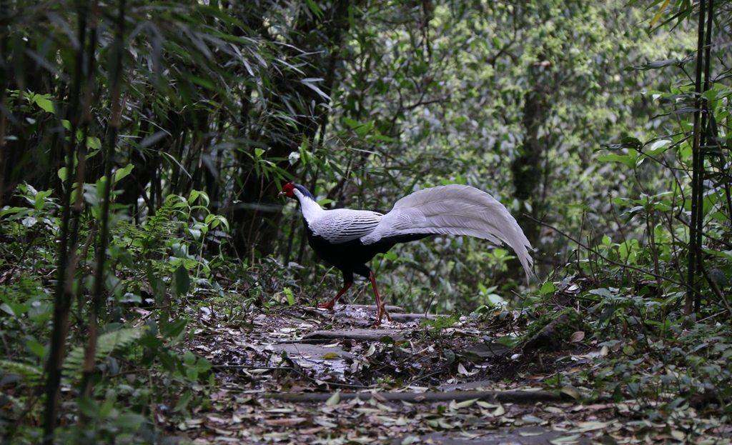 Silver pheasant. credit Song He, Laojunshan Nature Reserve