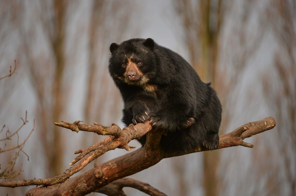 Andean bear at Chester Zoo
