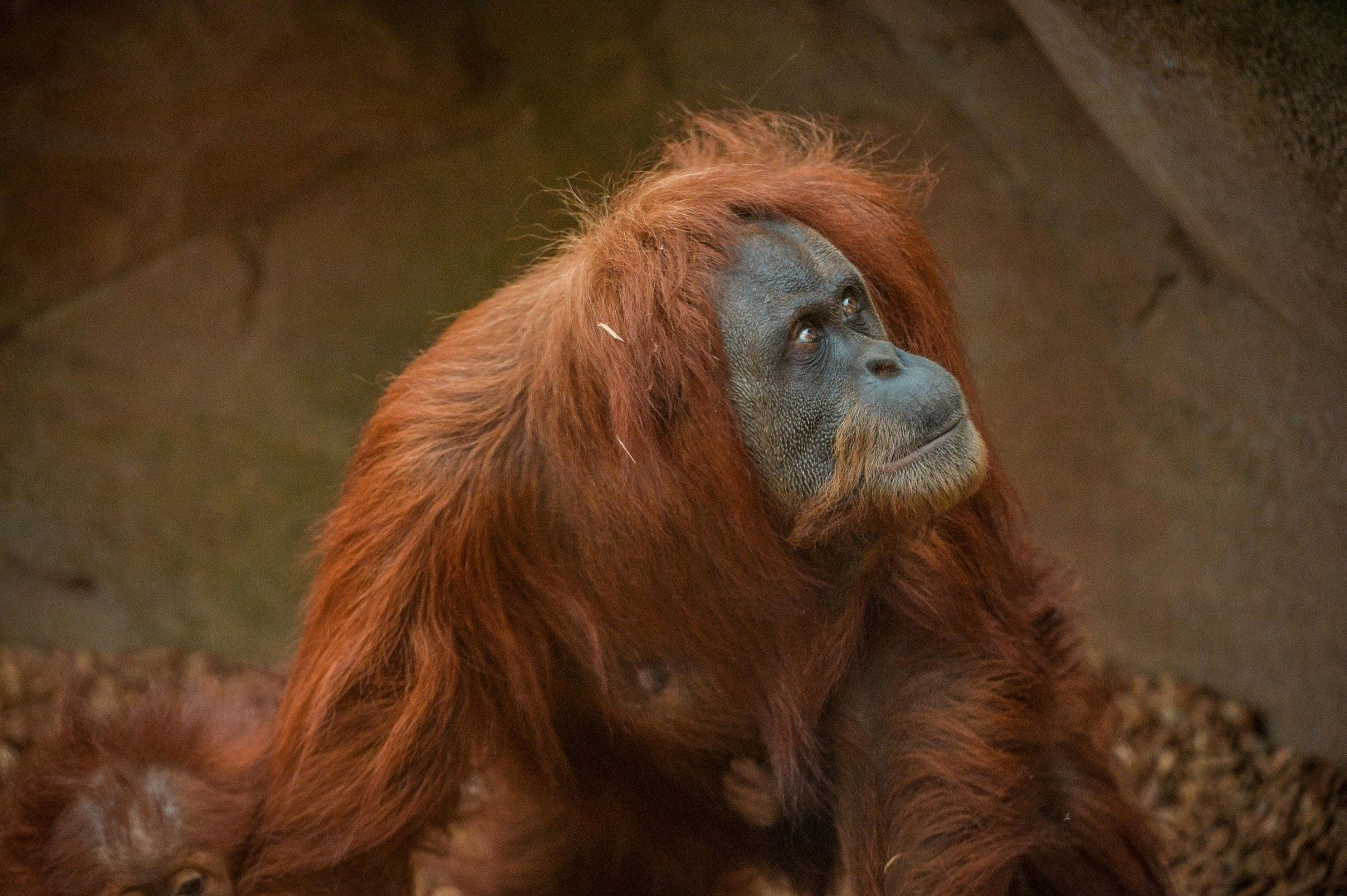 Sumatran orangutan at Chester Zoo