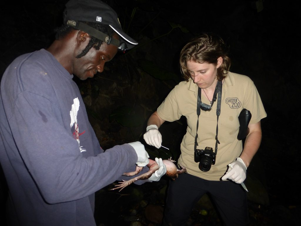 Katy and the team swabbing for chytrid fungus, a deadly disease threatening amphibians.