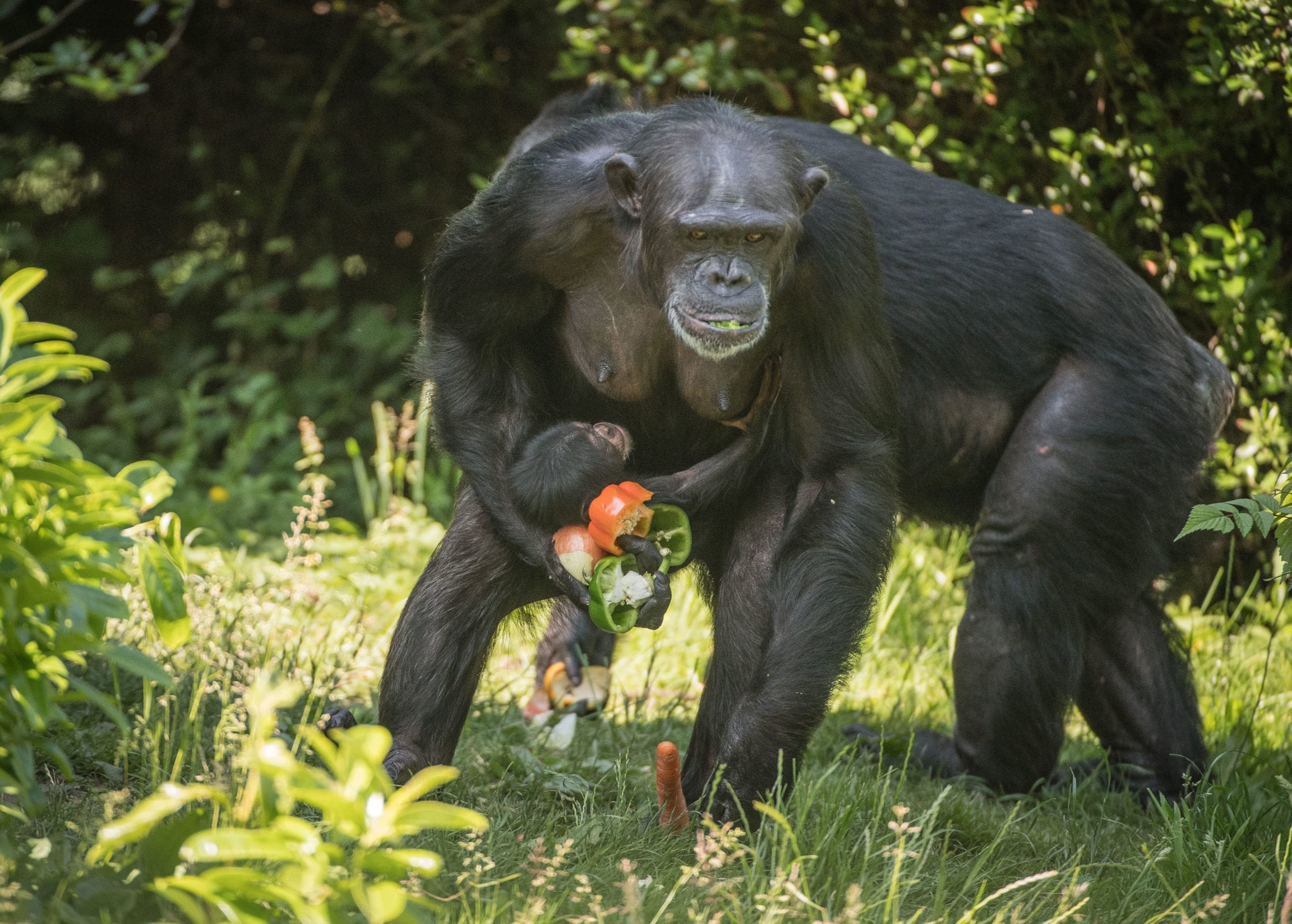 First chimpanzee to be born in nearly a decade at Chester Zoo