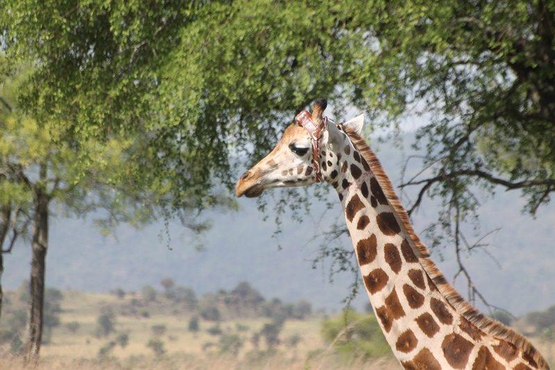 Close up of giraffe with GPS head collar on head