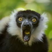 White Belted Ruffed Lemur | Chester Zoo
