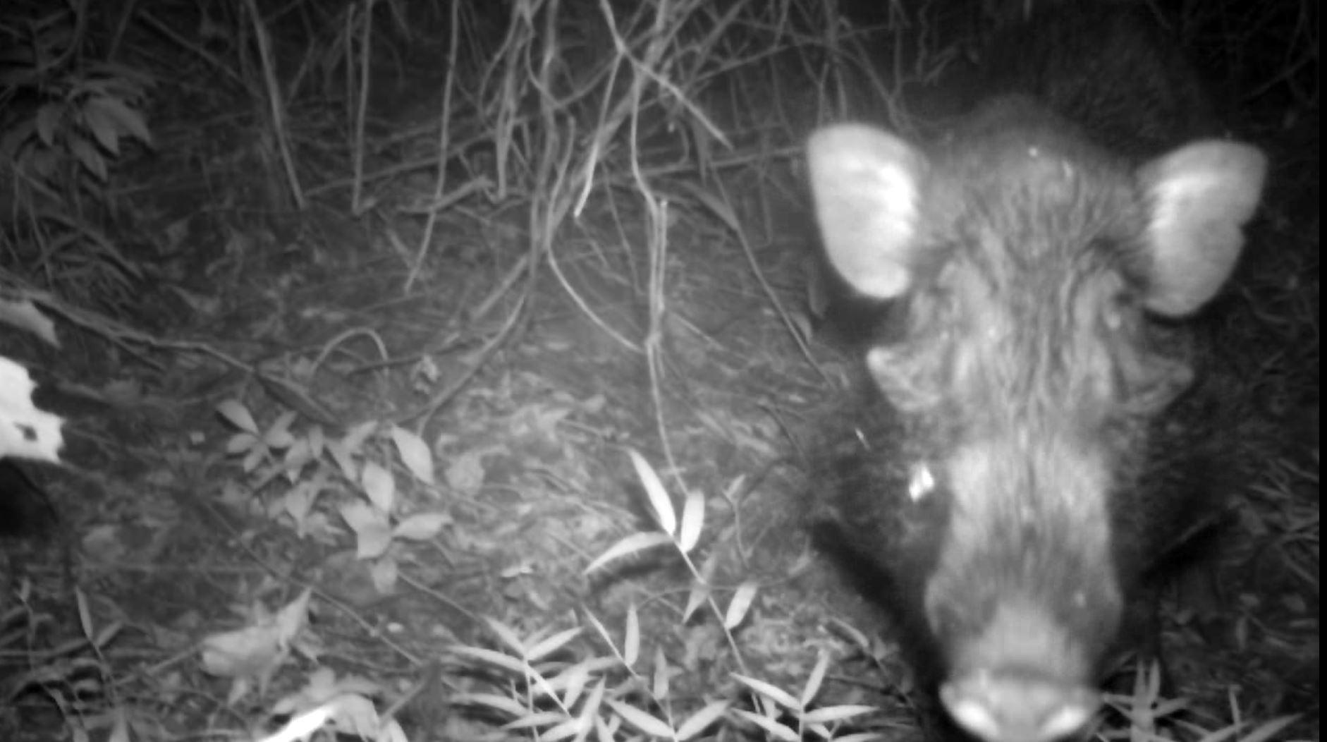 Javan warty pig captured on camera trap
