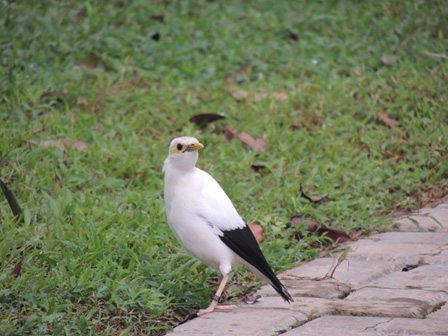 Black winged starling