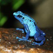 Blue Poison Dart Frog | Chester Zoo