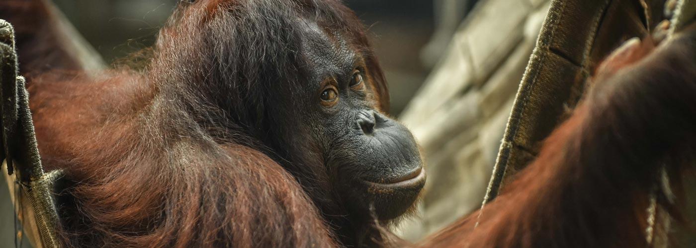 Bornean orangutan - Chester Zoo