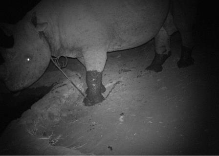 Rhino caught in a snare captured on a camera trap. Photo credit: Big Life Foundation