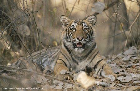 Juvenile Bengal tiger. Photo credit: www.jameswarwick.com