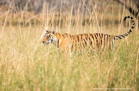Bengal tiger. Photo credit: www.jameswarwick.co.uk