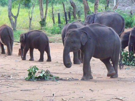 Elephant calves at Udawalawe Elephant Transit Home, Sri Lanka. Photo credit: Helena Stokes