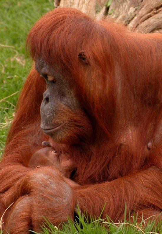 Sumatran orangutan Emma and baby at Chester Zoo