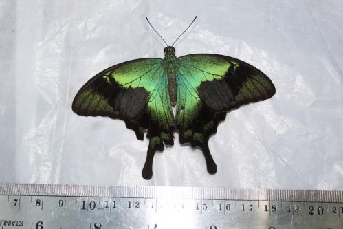 Endemic butterfly, Papilio peranthus baweanicus. Credit: RCCC-UI