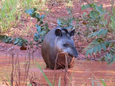 First living tapir spotted in Cerrado. Photo credit: Lowland Tapir Conservation Initiative