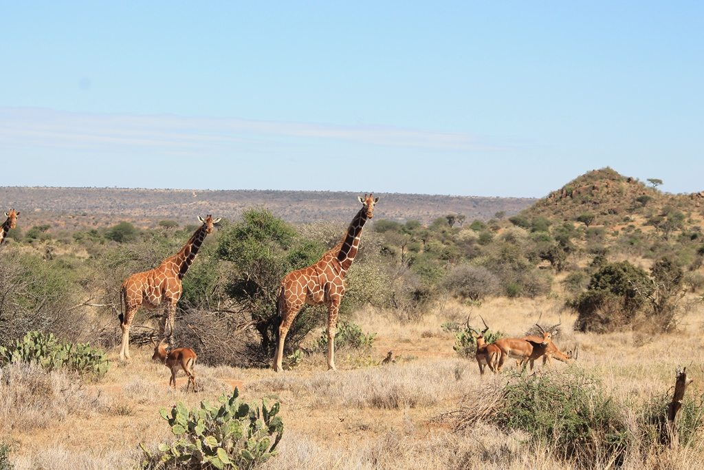 Giraffe looking towards the camera
