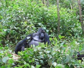 Grauer's gorilla. Photo credit: Stuart Nixon