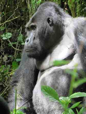 Grauer's gorilla Photo credit: Stuart Nixon