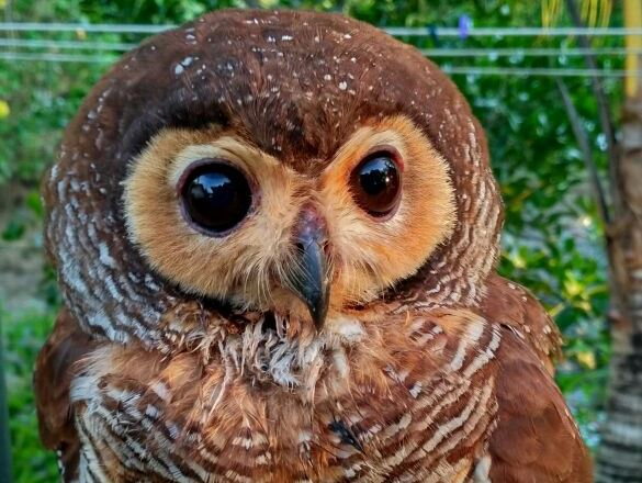 Bawean Island owl