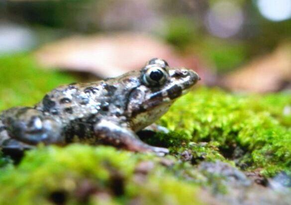 Bawean Island frog