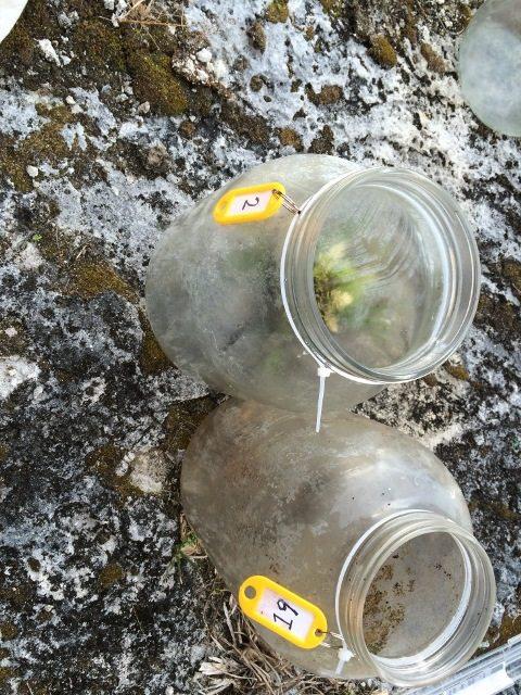Jam jar traps used to capture the skinks