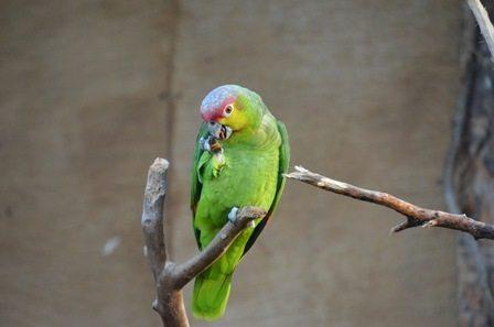 Ecuador amazon parrot