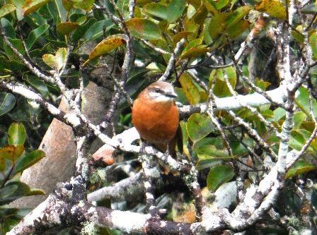 Female cuckoo-shrike
