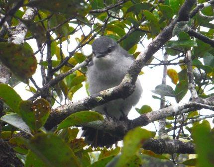 Male cuckoo-shrike