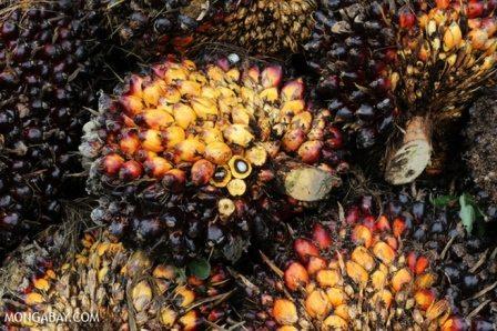 Fresh palm fruit. Photo credit: Mongabay.com