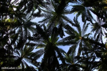 Canopy of an oil palm plantation. Photo credit: Mongabay.com