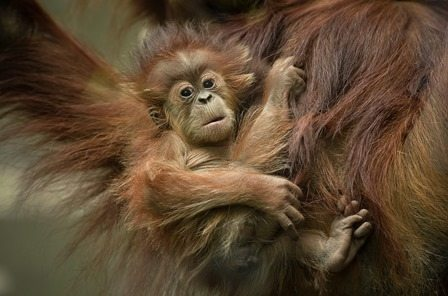 New arrival at Chester Zoo, with mum Subis