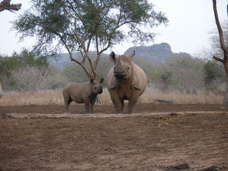 Black rhino with calf in the wild