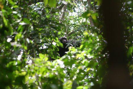 Chimpanzee in the foliage. Photo credit: João Torres