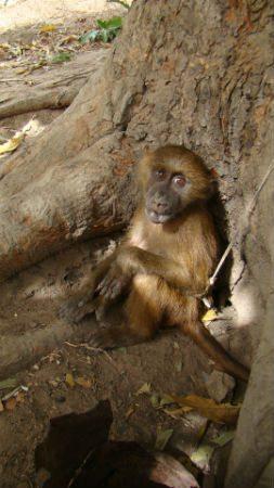 Young baboon tethered to tree. Photo credit: Maria da Silva