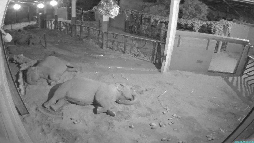 Asian elephants sleeping at Chester Zoo