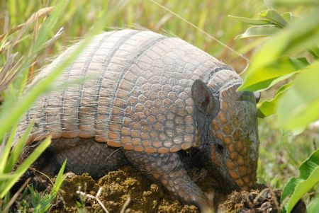 Six banded armadillo foraging in cattle dung. Photo credit: Arnaud Desbiez