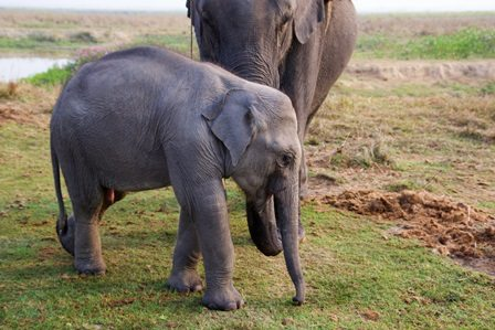 Asian elephants in Assam, India