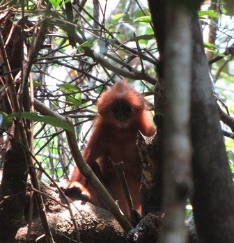 Red langur in the wild. photo credit: David Ehlers Smith