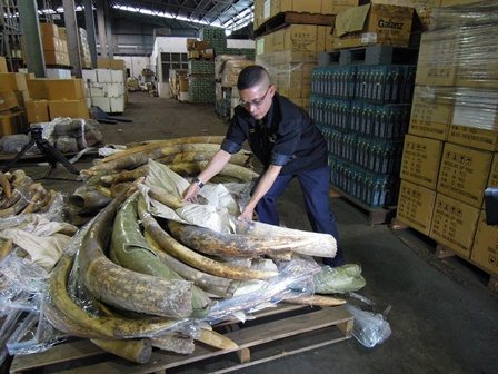 Ivory seized in Malaysia. Photo credit: TRAFFIC